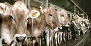 mucche_allevamento_interna
