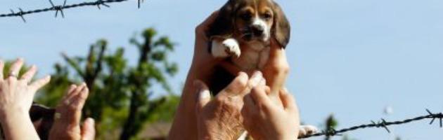 Green Hill, l'azienda rinuncia al ricorso: liberi per sempre 2500 cani beagle