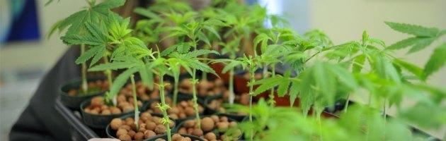 """Salute, l'accusa di 18 società scientifiche: """"Cannabis dannosa e pericolosa"""""""