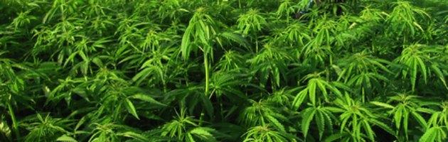 Arezzo, consigliere Pd di Montevarchi arrestato per due chili di marijuana