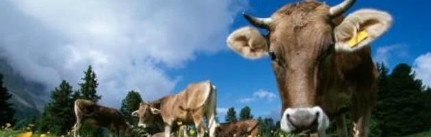 Peste bovina, appello Fao per eliminare i campioni virus non in sicurezza