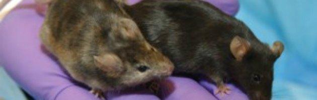 Cellule staminali, trasformate dai ricercatori da adulte in embrionali nei topi