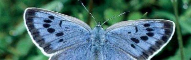 Fukushima, dopo disastro nucleare, farfalle ereditano mutazioni genetiche