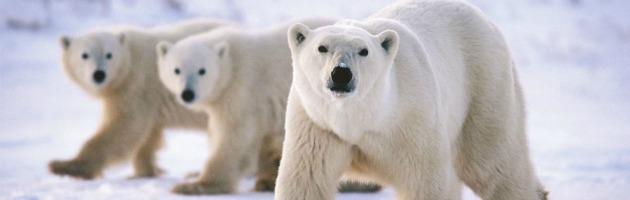 """Addio all'orso polare entro 10 anni.Gli studiosi: """"Troppo poco ghiaccio"""""""