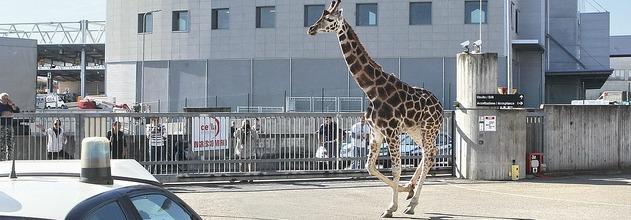 """Imola, morta la giraffa fuggita per la città. Il sindaco: """"Il circo se ne vada"""" (video)"""