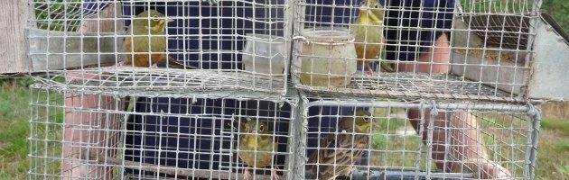 Uccelli in gabbia
