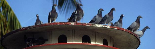 Egitto, arrestato piccione sospettato di spionaggio