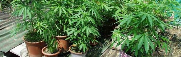 Marijuana, coltivarla a fini personali non è reato. Sentenza storica a Ferrara