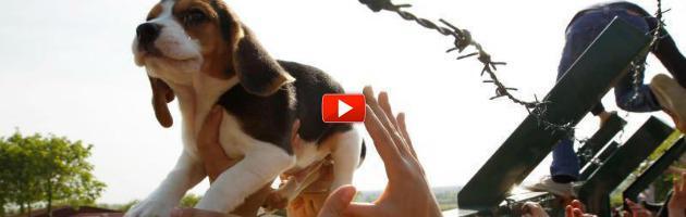 Green Hill, una storia di libertà. A Modena il film sui beagle liberati (video)