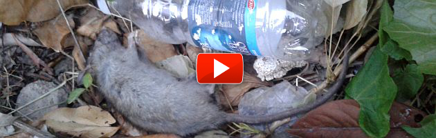 Terremoto, Mirandola: le case temporanee per gli sfollati infestate dai topi