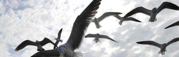 """Inghilterra, come nel film """"Uccelli"""" i gabbiani attaccano gli umani"""