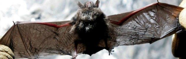 Nuova Sars, pipistrelli e dromedari vettori della malattia nell'uomo?
