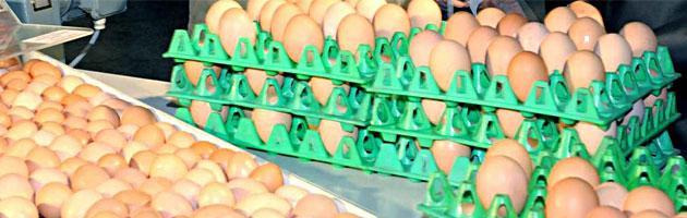 Ostellato (Fe), primo caso di aviaria. Via all'abbattimento di 128mila galline