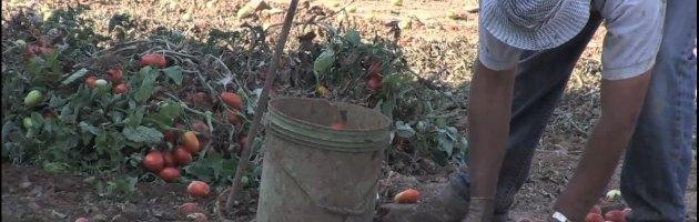 Disoccupati e pensionati, gli italiani figli della crisi tornano a raccogliere pomodori