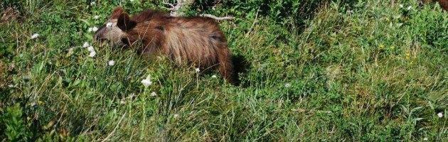 """Orso ucciso a fucilate in Trentino, M2 aveva 5 anni. Forse """"vendetta"""""""