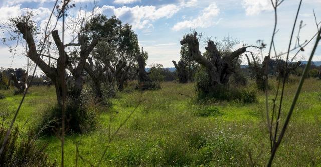 """Strage di ulivi in Puglia, l'Ue: """"Sradicare le piante malate per evitare contagio"""""""