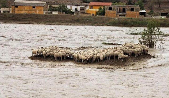sardegna pecore