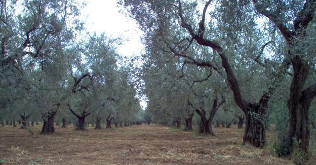 Puglia, ulivi uccisi da batterio killer: il Salento rischia il deserto, l'Italia il contagio