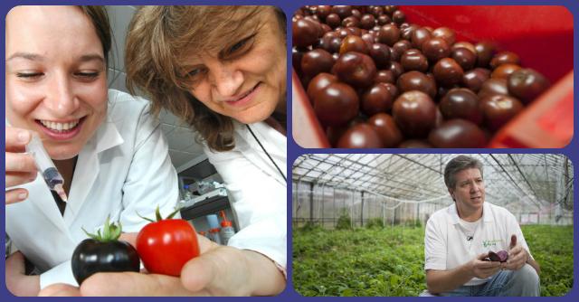 Ogm: in Inghilterra arrivano i pomodori viola, più nutrienti e anti-ossidanti