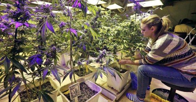 Marijuana terapeutica, a Lecce l'unico Cannabis social club d'Italia
