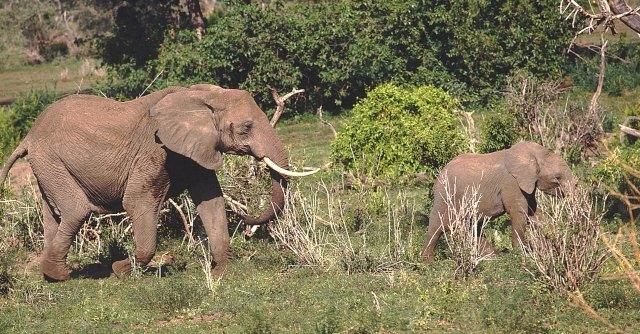 """Avorio, Cina distrugge 6 tonnellate. """"Urgenza lotta al bracconaggio di elefanti"""""""