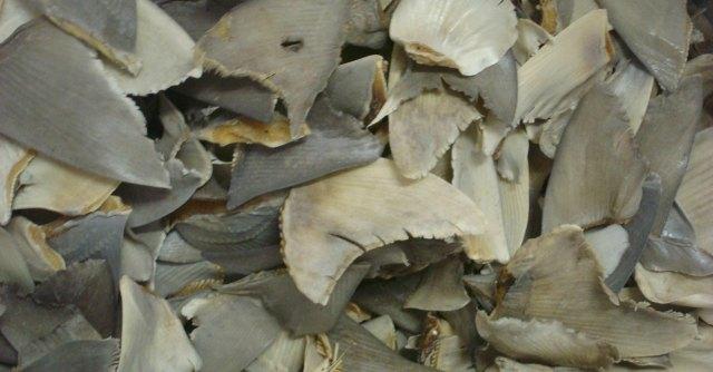 """Cina, inchiesta WildLifeRisk: """"Ecco come vengono massacrati gli squali"""""""