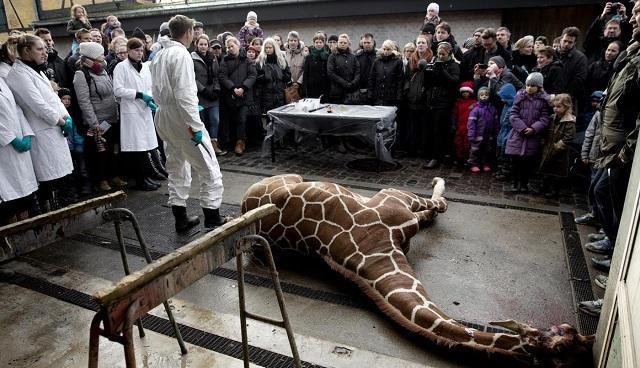 Animali: la giraffa Marius e la morte spettacolarizzata