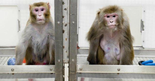 Scimmia controlla con la mente il suo avatar sedato. Esperimento ad Harvard