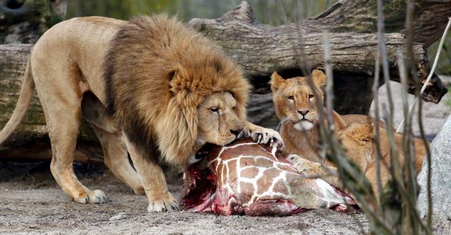 Zoo di Copenaghen, dopo la giraffa è il turno dei leoni: ammazzati in quattro