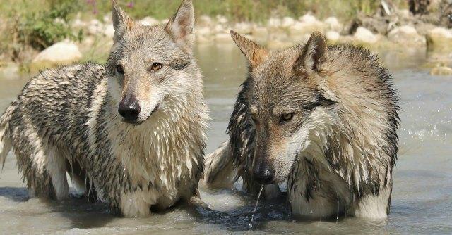 """Abruzzo, """"strage"""" silenziosa di orsi e lupi marsicani. Ma la politica sta a guardare"""