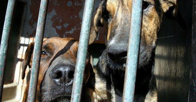 Traffico di animali, fermato camion sull'A1. A bordo oltre duecento cuccioli di cane