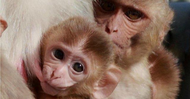 """Dieta ipocalorica, """"le scimmie vivono tre volte di più e in salute"""""""