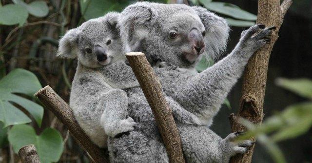 Dallo struzzo al koala: la classifica delle false leggende del mondo animale