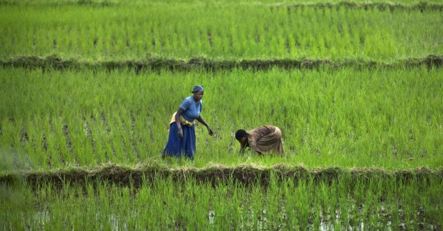 Lotta alla siccità, dal Dna del riso africano un'arma in più per la rivoluzione verde