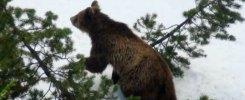 Orsa Daniza sfugge a cattura. Occupata Provincia Trento: 'Revocare ordinanza'