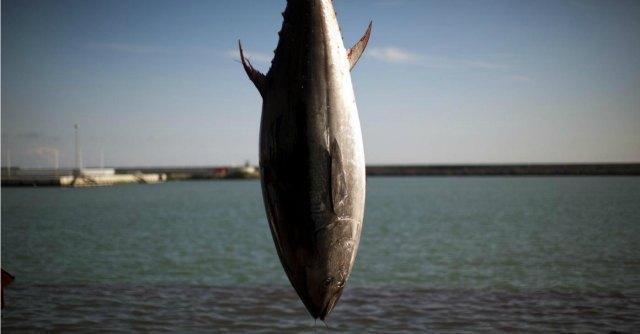 Tonno rosso, pesca proibita. Ue impone quote, ma Italia è fanalino di coda