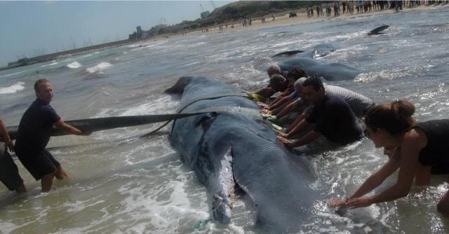 Capodogli spiaggiati a Vasto: salvati quattro esemplari su sette