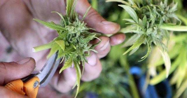 """Marijuana, """"da Colorado e Washington 800 milioni di dollari per il fisco"""""""