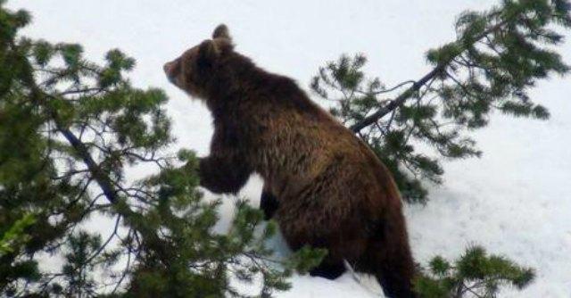 560dd25f12 Daniza, morta l'orsa del Trentino.