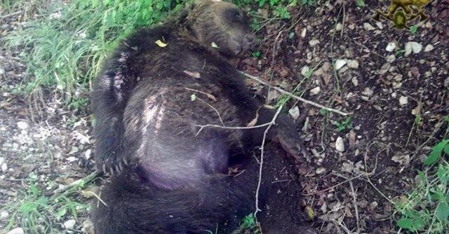 """Abruzzo, trovata carcassa di un altro orso: """"Forse è stato avvelenato"""""""