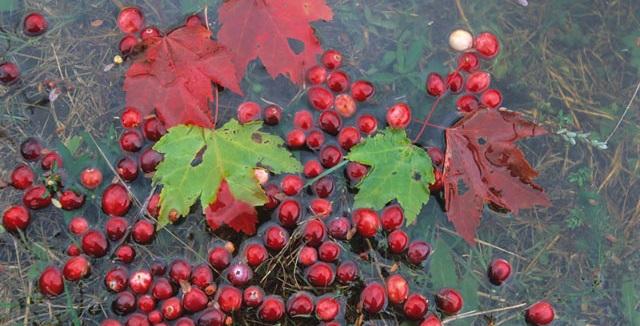 mirtilli galleggiano e foglie di acero - Foto di Vittorio Giannella