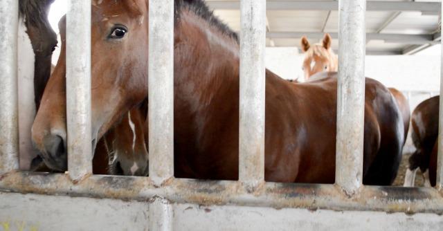 Carne di cavallo, Essere Animali: 'No alla macellazione'. Sai cosa c'è dietro?