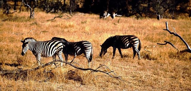Medicina: 'Perché alle zebre non viene l'ulcera?'
