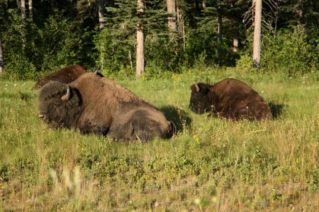 20141121 bisonti-Yukon-Blues-viaggio-Walter-Bonatti