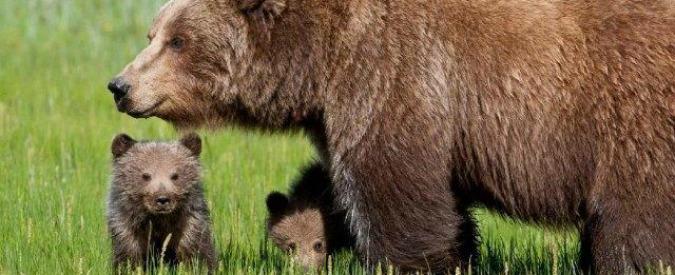 """Daniza, Procura di Trento: """"Responsabilità della morte dell'orsa è del veterinario"""""""
