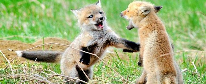 """Abruzzo, """"mamma volpe e due cuccioli uccisi ed esposti"""". Rabbia ambientalista"""