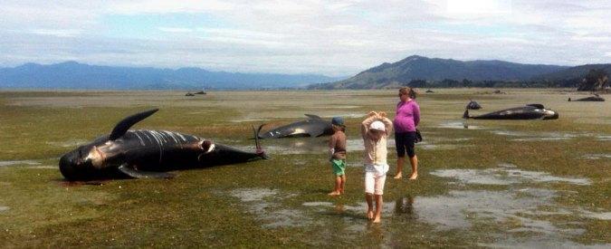 Nuova Zelanda, morte oltre 100 balene pilota arenate. Altre 90 sono a rischio