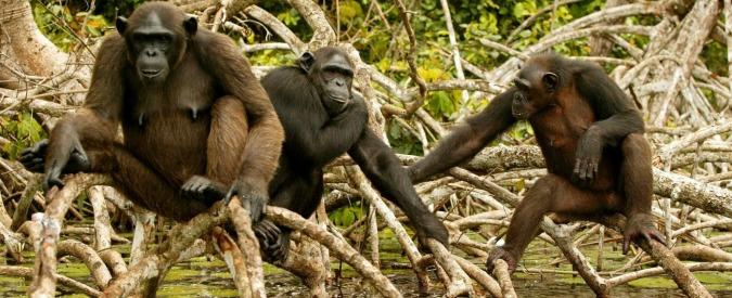"""Scimpanzé, imparano anche """"nuovi"""" idiomi di gruppi diversi per adattarsi"""