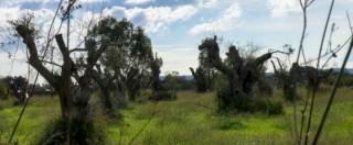 """Xylella, Francia mette l'embargo: """"Stop a importazioni di piante dalla Puglia"""""""