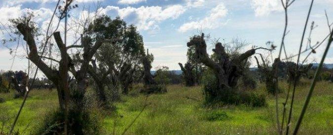 """Strage ulivi Puglia, obbligo di pesticidi. Lega Tumori: """"Cura peggio dell'infezione"""""""